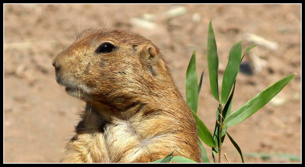 Pensive Prairie Dog, Nature, Honorable Mention, © A Buccino