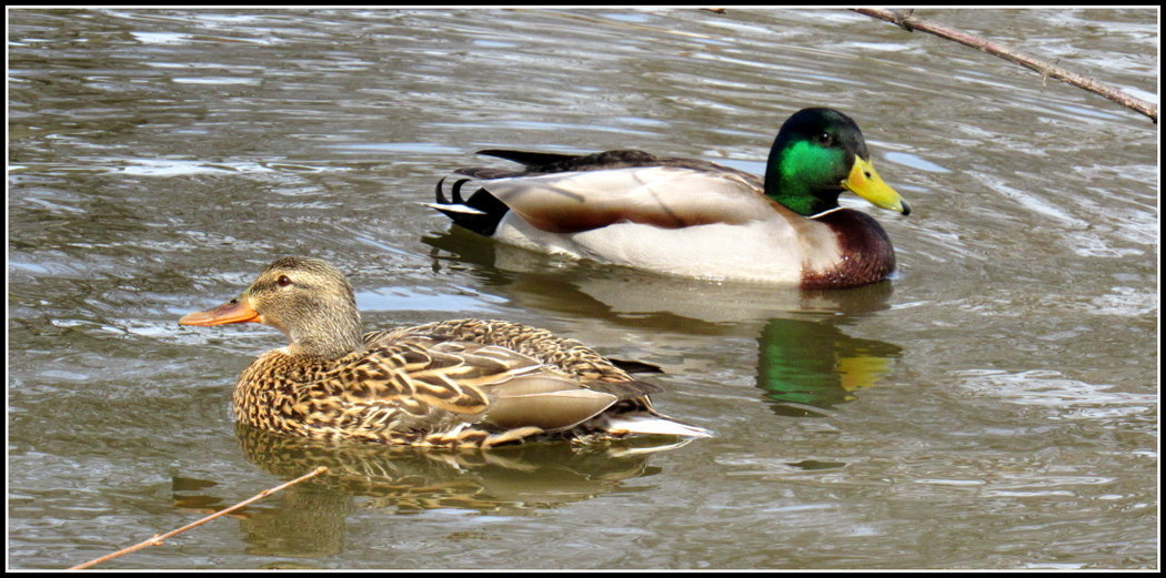 Two ducks passing on pond, nature, Anthony Buccino